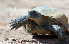 Gopher Tortise